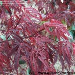 1003-Acer-palmatum-Ever-Red-CU-A