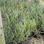 100PAN-Panicum-Ruby-Ribbons_A