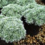 1888-Artemisia-Silvermound