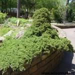 1JH-Juniperus-Green-Mound-form