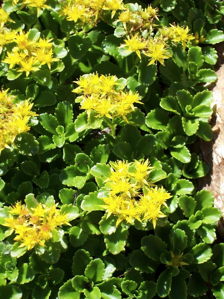 Russian stonecrop wilson nurseries fleshy foliage is deep green and scalloped useful as a border or groundcover long bloom season of showy yellow flowers appear in spring and summer for mightylinksfo Images