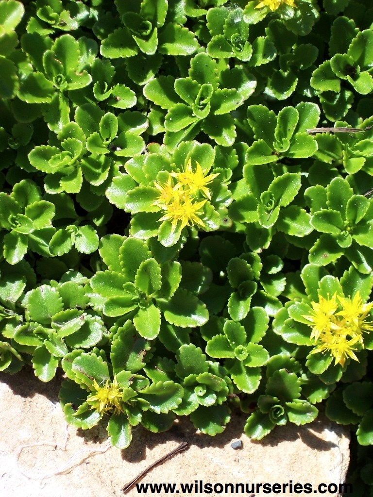 Thyme Ground Cover Perennials: Russian Stonecrop