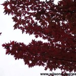 ACFAB-Acer-Autumn-Blaze-CU-Fall