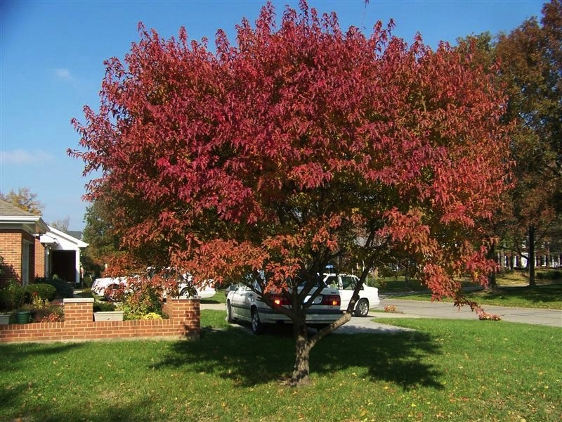 Flame Amur Maple | Wilson Nurseries