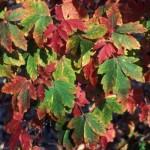 ACGRI-Acer-griseum-Fall