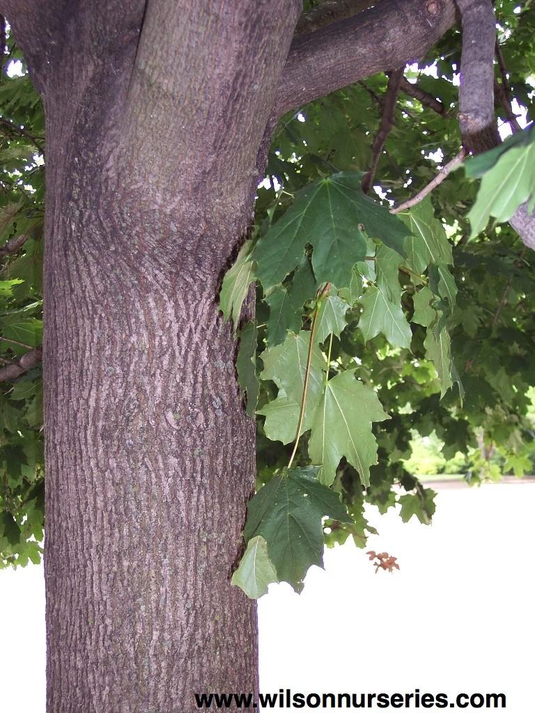 Deborah Norway Maple Wilson Nurseries - Norway maple bark