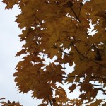 ACPP-Acer-Parkway-Fall-leaves