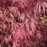 ACPTA-Acer-palmatum-Tamukeyama-CU