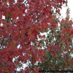 ACRR-Acer-Red-Sunset-Fall-CU