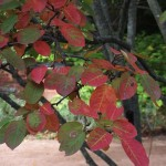 AMG-Amelanchier-Autumn-Brilliance-Fall-leaves