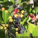 ARA-Aronia-arbutifolia-berries