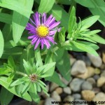 ASNP-Aster-Purple-Dome_CU_A