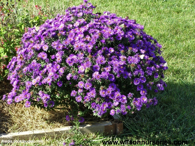 purple dome new england aster  wilson nurseries, Beautiful flower