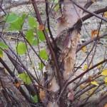 BEN-Betula-nigra-Fall-bark-A