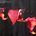 BEP-Betula-Royal-Frost-Fall-leaves