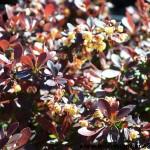 BETAN-Berberis-Crimson-Pygmy-CU-flowers