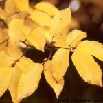 CABF-Carpinus-Fastigiata-Fall