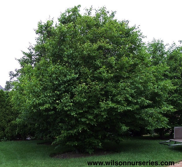 Blue Beech Wilson Nurseries