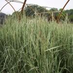 CAO-Calamagrostis-Overdam_A