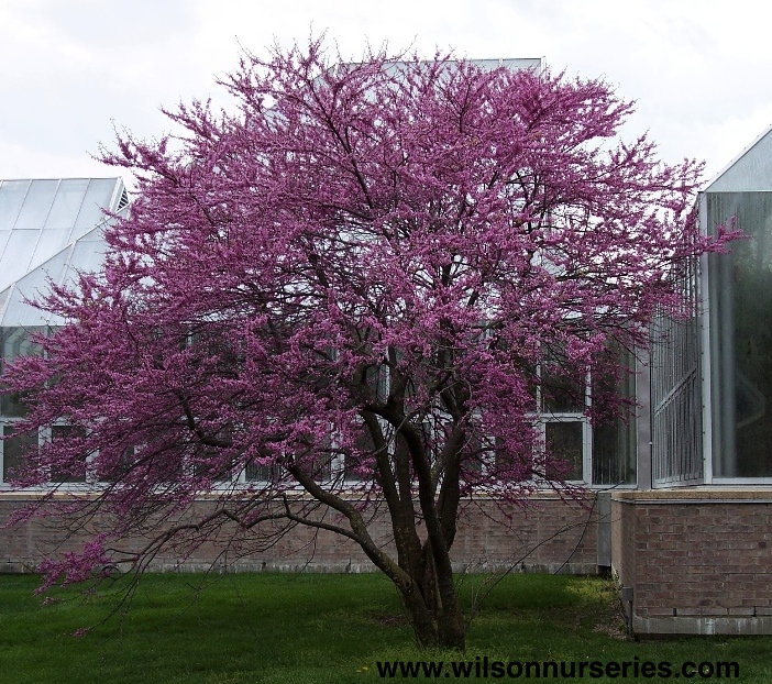 Eastern Redbud Wilson Nurseries