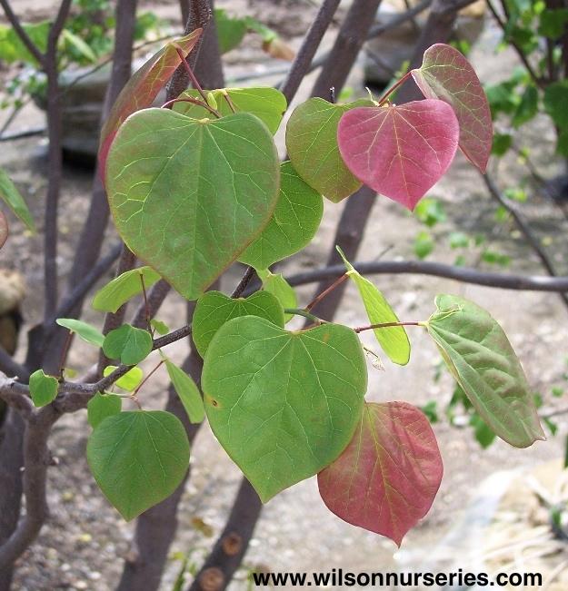 Eastern Redbud Wilson Nurseries