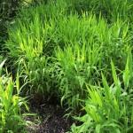 CHLNO-Chasmanthium-latifolium_A