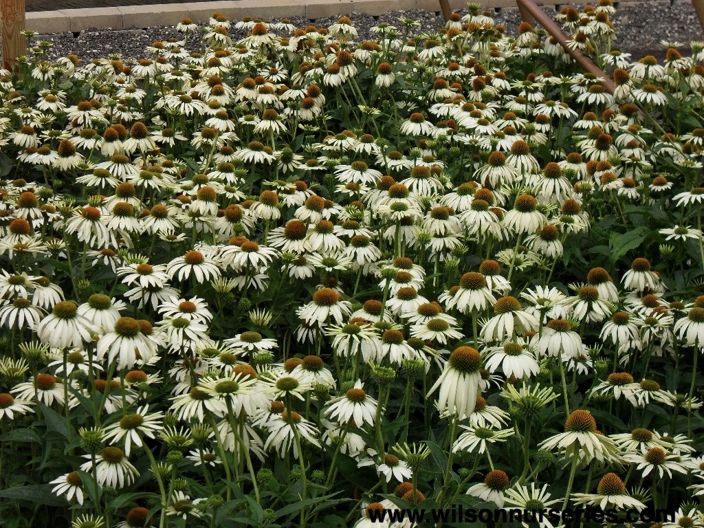 White Swan Coneflower Wilson Nurseries