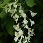 GLTSK-Cladrastis-flower-cluster