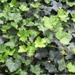 HEH-Hedera-Thorndale-English-Ivy_CU_A