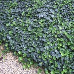HEH-Hedera-Thorndale-English-Ivy_Form_A