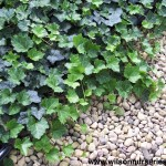 HEH-Hedera-Thorndale-English-Ivy_Form_B