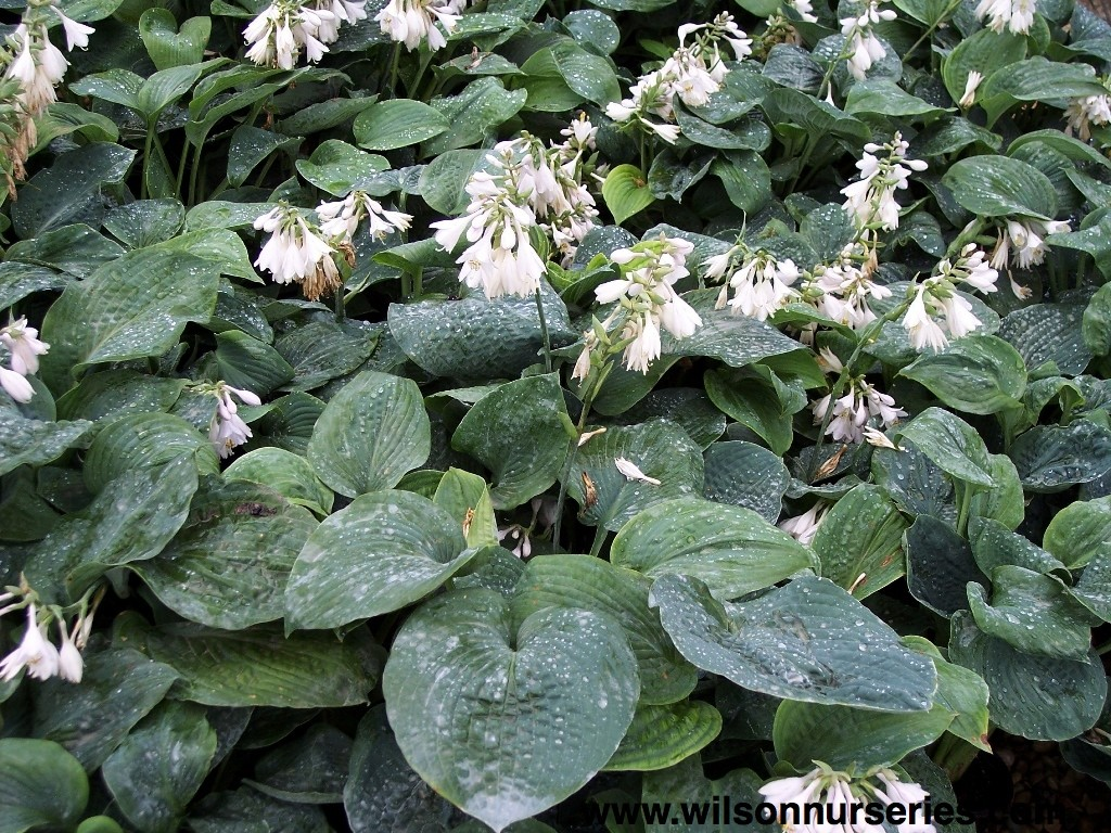 Bressingham blue plantain lily wilson nurseries one of the best blue green hostas near white flowers with a pale lavender mid petal stripe in mid summer large cupped heart shaped puckered leaves mightylinksfo