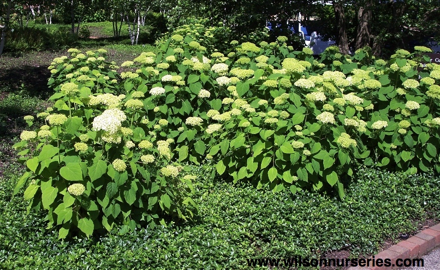 Vigorous Low Growing Rounded Shrub With Large Blooms Thrives In Shade And Well Drained Moist Soil Flowers May Be Small The First Year Normal Size By