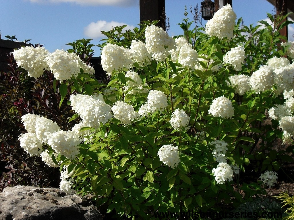 limelight hydrangea wilson nurseries. Black Bedroom Furniture Sets. Home Design Ideas