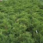 JCPCK-Juniperus-Kallay-Compact-A