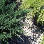 JCS-Juniperus-Blue-Sargent-CU