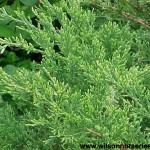JCSG-Juniperus-Sea-Green-XCU