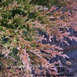 JH-Juniperus-Youngstown-fall-winter-needles
