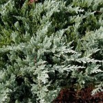 JHBC-Juniperus-Blue-Chip-CU