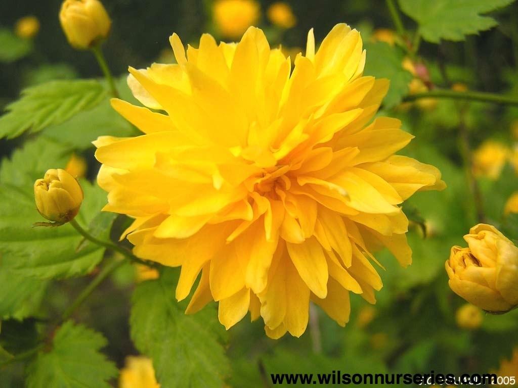 Plentiflora Japanese Kerria Wilson Nurseries