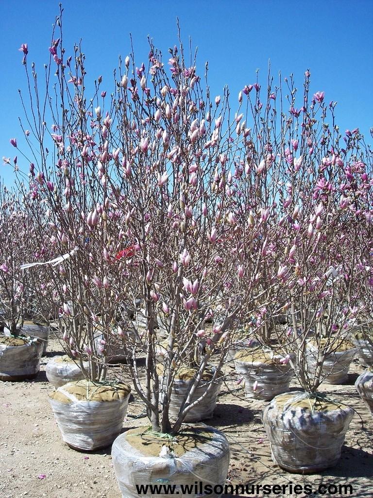 Saucer Magnolia Wilson Nurseries