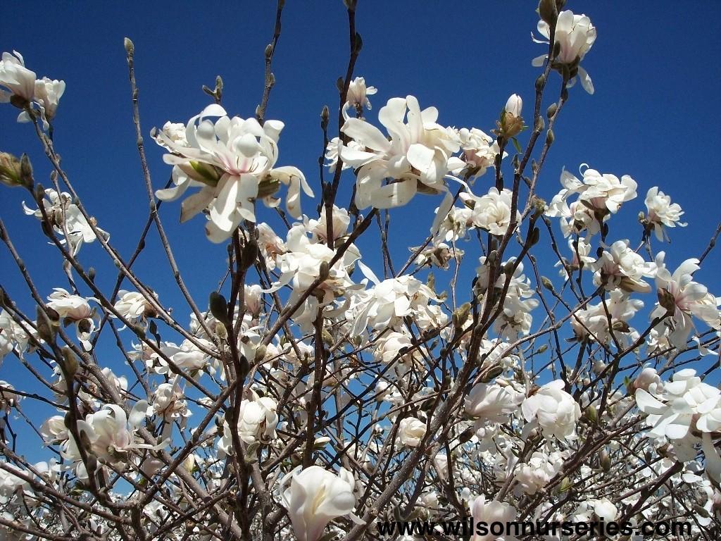royal star magnolia wilson nurseries. Black Bedroom Furniture Sets. Home Design Ideas