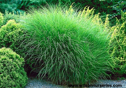 gracillimus maiden grass wilson nurseries. Black Bedroom Furniture Sets. Home Design Ideas