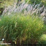 MISP-Miscanthus-Purpurascens-Flame-Grass_form