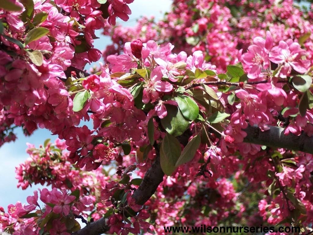 adams flowering crabapple wilson nurseries. Black Bedroom Furniture Sets. Home Design Ideas