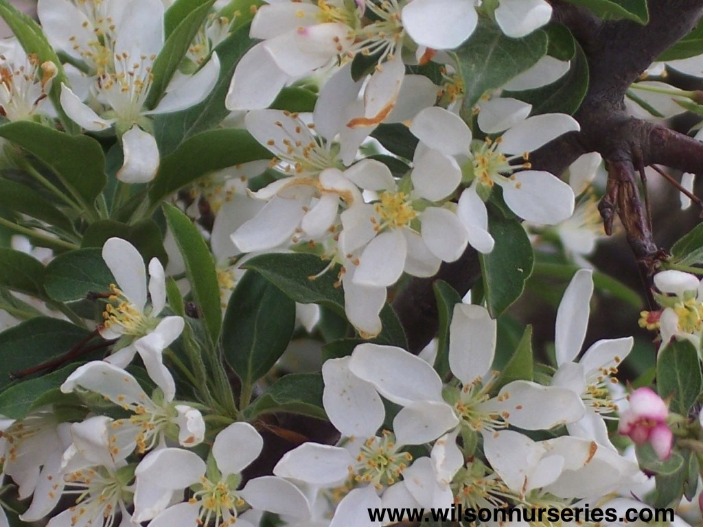 Cinderella Flowering Crabapple Wilson Nurseries