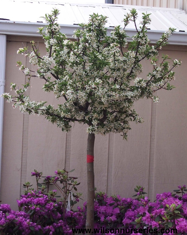 Cinderella flowering crabapple wilson nurseries extremely compact upright oval shape tiny red buds open to snow white flowers a dwarf petite white flowering crabapple 14 gold fruit mightylinksfo