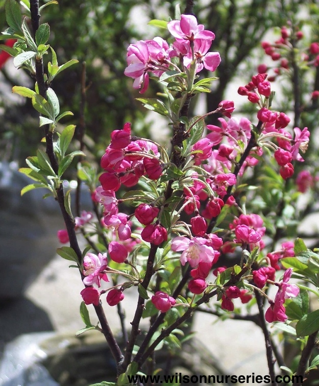 coralburst flowering crabapple wilson nurseries. Black Bedroom Furniture Sets. Home Design Ideas