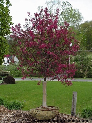 Coralburst flowering crabapple wilson nurseries malus crabapple x coralcole coralburst flowering crabapple mightylinksfo
