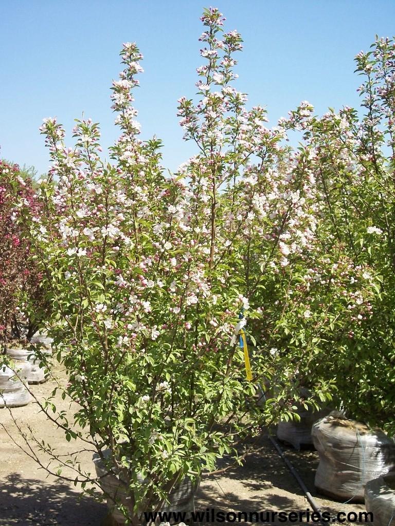 Donald Wyman Flowering Crabapple Wilson Nurseries